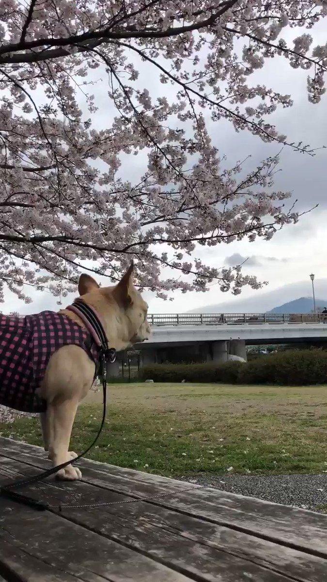 さくら〜 満開ワーーーーーーーーン!!  川の向こう岸も桜が満開  #桜 #犬との暮らし #フレンチブルドッグ #京都 #鴨川 #ブヒ #フレブル #春の鴨川 #犬と桜 #鼻ぺちゃpic.twitter.com/zkjybG4u9h