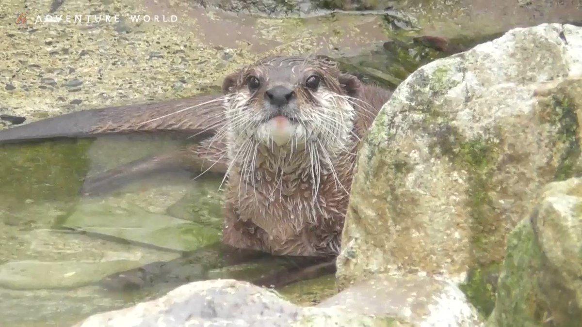 目をパチパチ「1・2・3~」と数えてかくれんぼスタート?!元気いっぱい駆け回りキョロキョロと周りを見渡す #コツメカワウソ 。立ち上がって「あっ見つけた~!」とカメラにアピール!#アドベンチャーワールド #一部営業再開 #休園中の動物園水族館 #休園中のテーマパーク