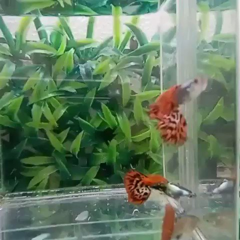 Platinum read dragon   OR wA : 085294403532 #manga  #guppy #Bettykyallo  #bettykyalo  #fishing  #jakartatanggapcorona  #JakartaDaruratKonpres  #JOGJA  #Bogor  #TANGERANG  #bekasi  #ikanhias #bettafish #guppyfish #FishFriends  #bandung  #cimahi  #majalahpopularpic.twitter.com/BxgK6jV382