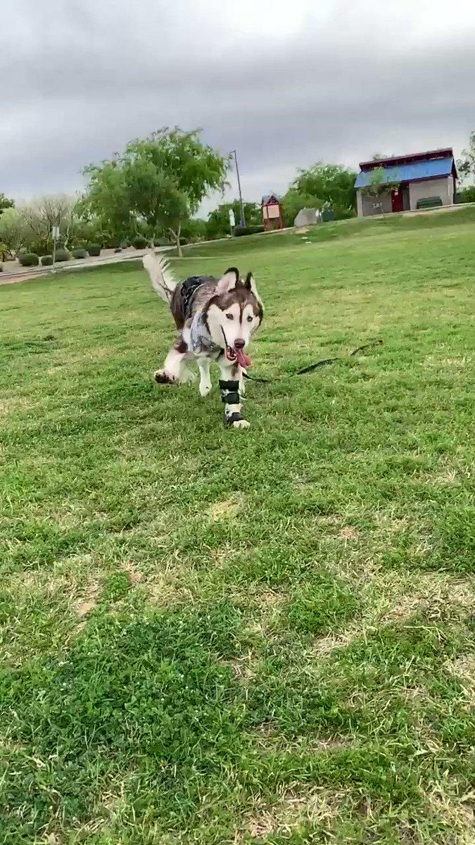 Zoomies!! ClydeWaze! ... pure love and joy . Hope this brings a Smile . . #dog #dogs #QuarentineLife #dogsarefamily #motivation #positivity #TigerKingpic.twitter.com/OnFoMvgak7