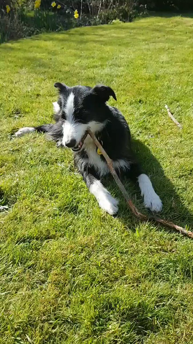 Meet our woodchip machine! Lou, the ever-helpful assistant gardener! #Exmoor #Dog pic.twitter.com/UweZh2In3O