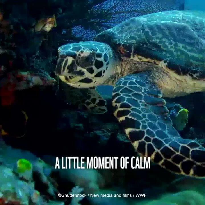 Bringing some nature to your newsfeed! Here's a video of a green turtle swimming at home🐢🌊 Love our natural world and want to see it thrive? Add your voice for the planet today: explore.panda.org/voice