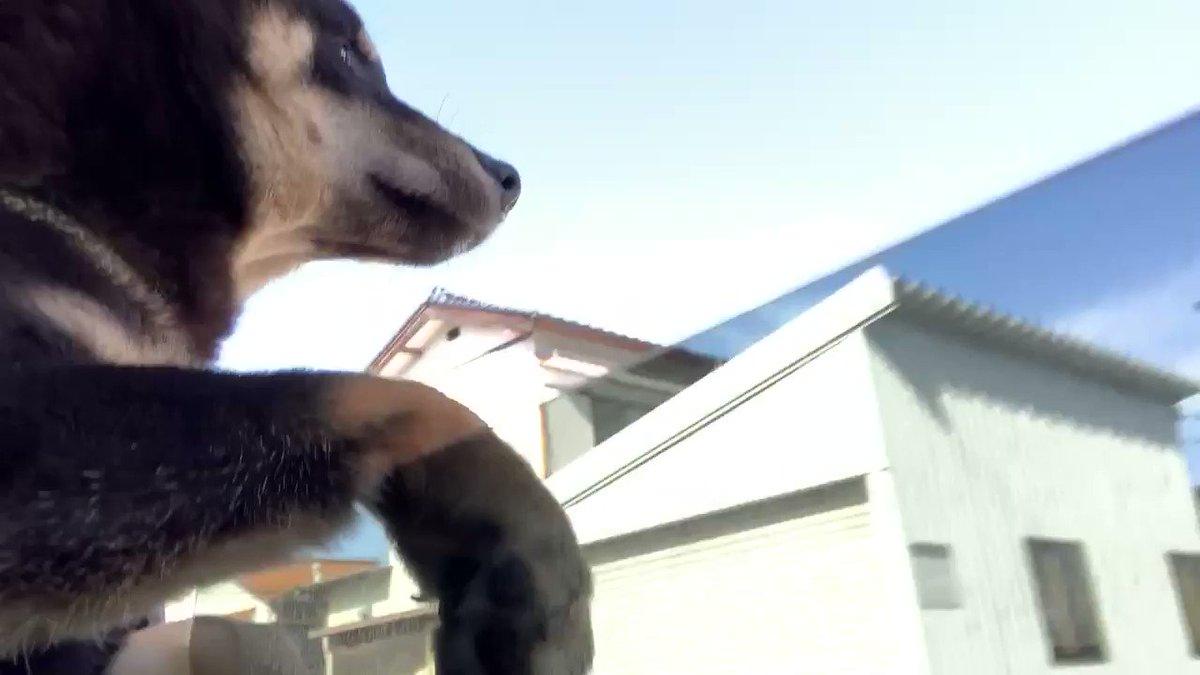 とてもリラックスしているポン太かと思いきや… 暴れん坊炸裂で、車外に出たがるので、この後窓を閉めました  #犬 #黒柴 #芝犬 #黒柴子犬 #黒柴ポン太 #犬との暮らし #癒し #仔犬 #犬のいる生活 #dog #犬バカ部 #犬スタグラム #犬動画 #黒柴ポン太チャンネル #子犬 #成長記録 #doglover pic.twitter.com/bRXjR4GlPV