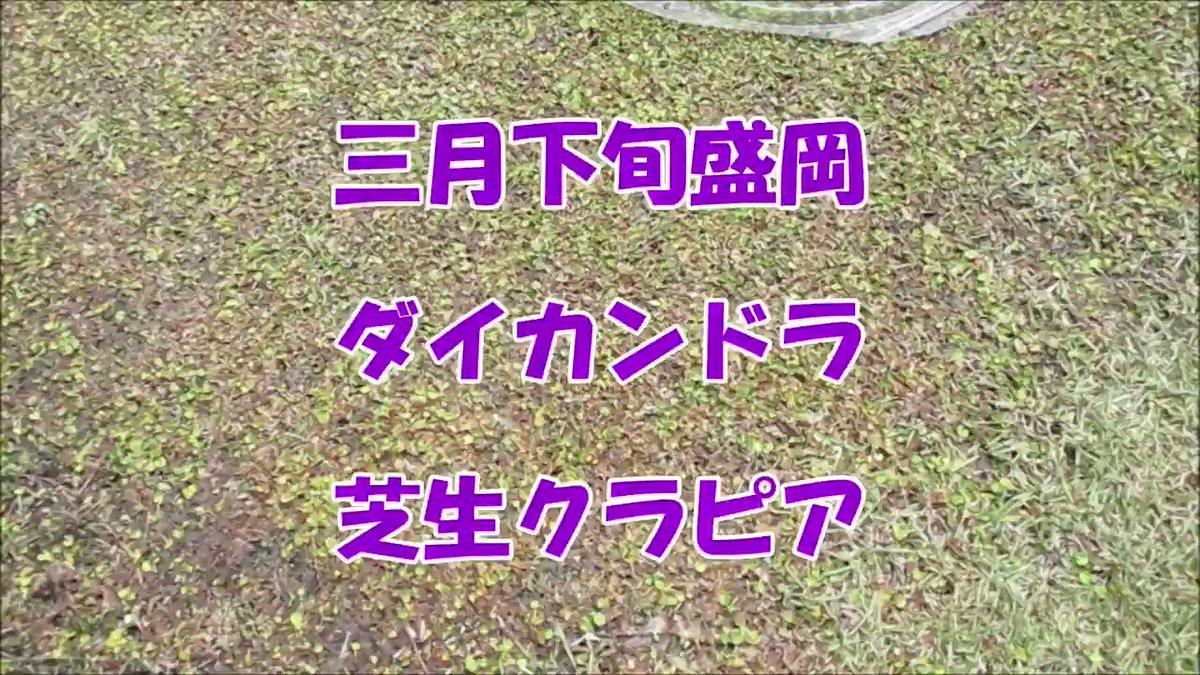 三月下旬岩手盛岡でのグランドカバー緑色比較です、やっと芽吹き始めたクラピア、どうしたわけか春になって茶色が目立ってきたダイカンドラ、そして薄っすら緑色の芝生です。 #クラピア #kurapia #グランドカバー #ダイカンドラ #芝生 #アーシング #ドッグラン #外構工事 #エクステリア #ガーデニングpic.twitter.com/GE9dXD3Dvo