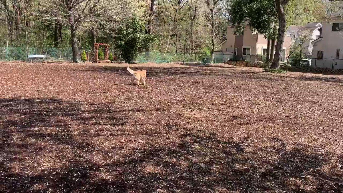 誰もいない平日の午前中  ゆったりのんびりボール投げのはずが、掘っては埋め掘っては埋め‥ ボールを穴に入れて周りを掘るのが楽しいらしいです #ドッグラン pic.twitter.com/2G0eHLWzKT