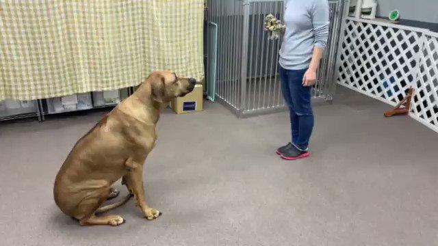 向かい合わせの状態から、スタッフと同じ方向を向いてくれました  #しつけ教室 #犬の幼稚園 #ドッグトレーナー #ドッグスクール #中野区 #ローデシアンリッジバック #ついてpic.twitter.com/Qno3E8ajzH