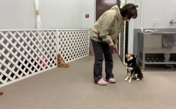 ダンベルをくわえたままついてきてくれました  #しつけ教室 #犬の幼稚園 #ドッグトレーナー #ドッグスクール #中野区 #柴犬 #くわえる #ついてpic.twitter.com/2HEtIYsBgL
