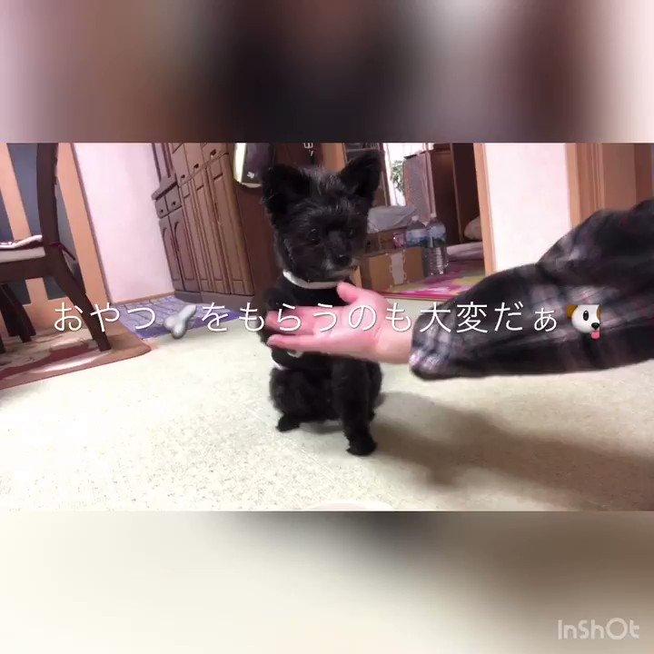 オヤツタイム #小型犬 #ポメプーの幸次郎 #ミックス犬 #犬オヤツ #犬 #犬との暮らし #dogpic.twitter.com/I80Q2DAi7J