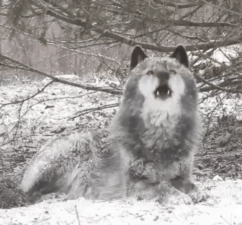 #Wolf Communicating with #Friends :) ifb