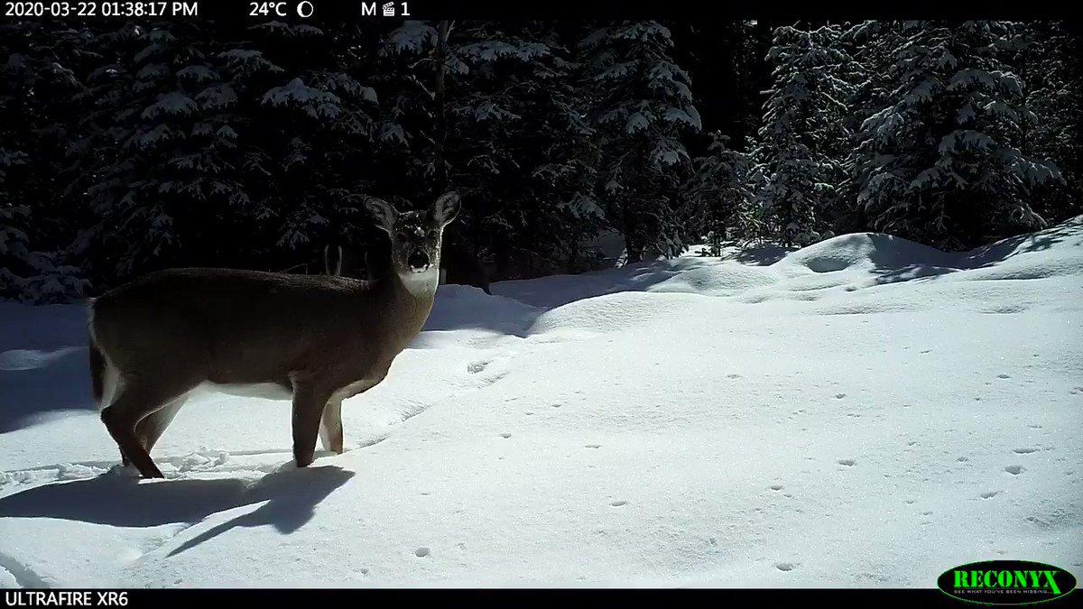 Soooo much snow in the rocky mountain foothills still!! #wildlife #deer #albertawildlife #natureisawesome
