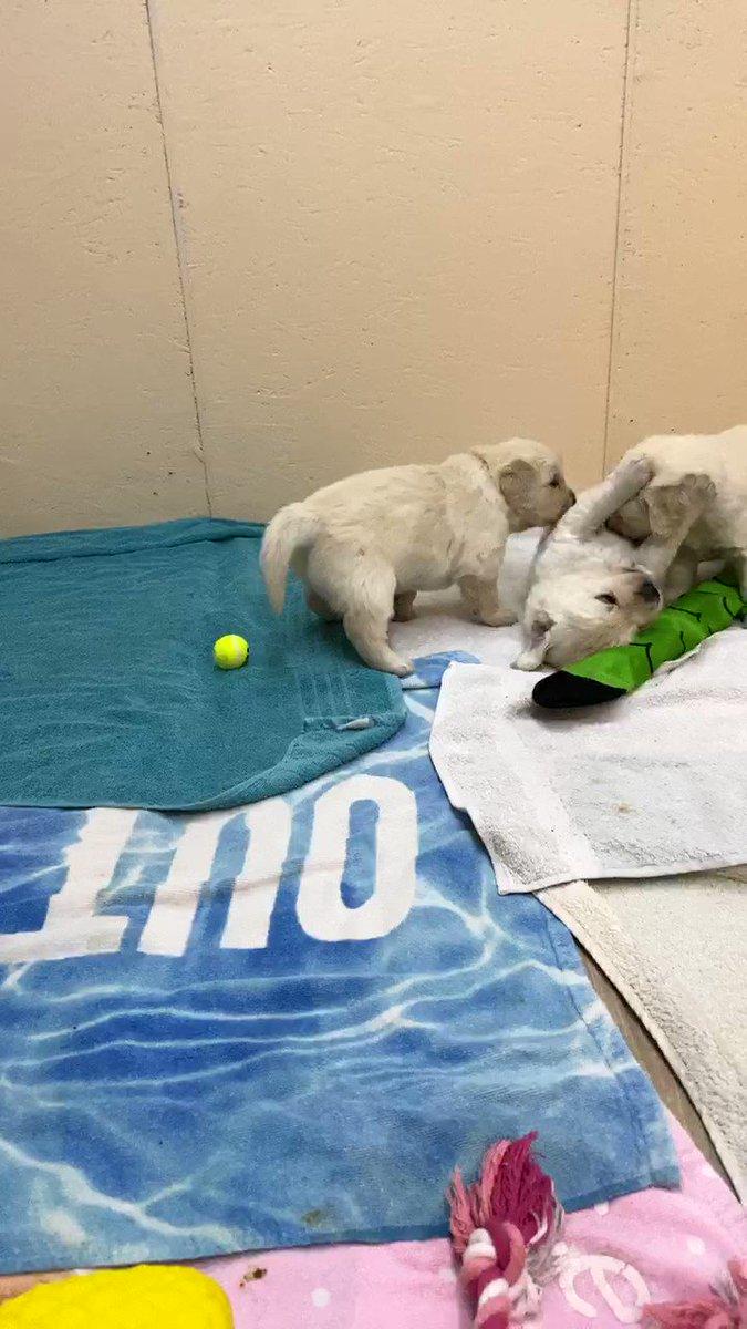 It's all kicking off!!!!! #goldenretriever #puppy #puppies #dogs #dogsoftwitter #dogcelebrationpic.twitter.com/ogezUqspof