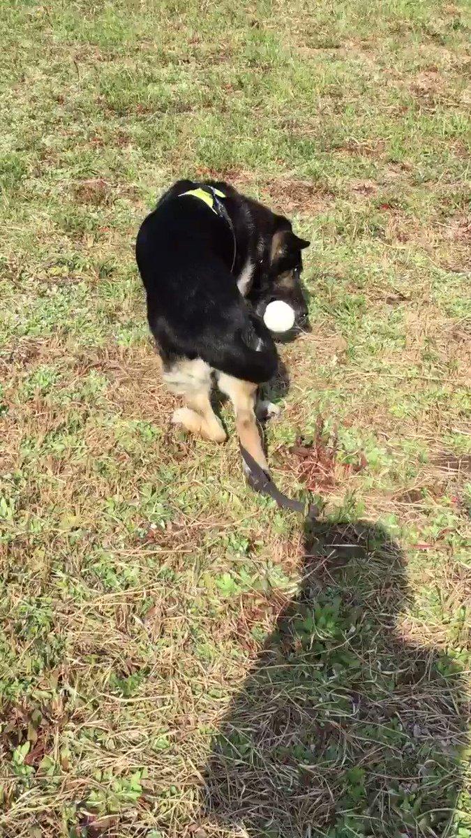 ジョニーさん、ボール遊びはやっぱり「とって来い」より「取ってみそ♪」がお好き 投げて取りに行ったら、そのまま追いかけて欲しい 私が追うばかりではダメなので、家主がボールを取った時は、体の周りを回ったり股の間を潜ったりさせてボールを追わせます。 #シェパード #シニア犬 #譲渡犬 pic.twitter.com/ZIVyHz4O34
