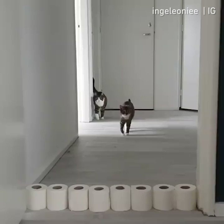🔊From @ingeleoniee: When I have too much free time during self quarantine #meowed #meowedofficial #TheMeowedClub #ToiletRollChallenge #ToiletPaperChallenge