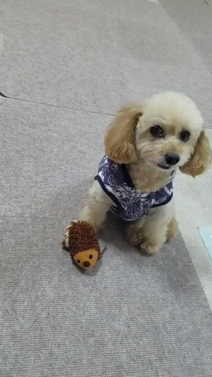 「これは俺のやで」  「ン?なに?!」→向く  ( ゚д゚)ハッ!  「ちゃんとはりねずみあってよかった」  「取らンといてや」  と言っておりました笑  #はりねずみ #犬好きさんと繋がりたい #小さいおっさん #いぬすたぐらむ #ミックス犬 #可愛い #空 #犬のいる生活 #小さいおっさんpic.twitter.com/Q7Ly4cN3h5