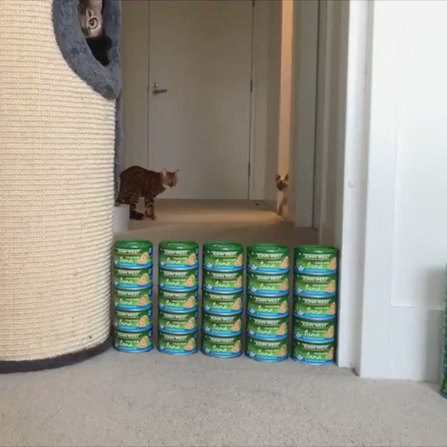 🔊From bengalwonderland: Conquering the Great Wall of Tuna #meowed #meowedofficial #TheMeowedClub