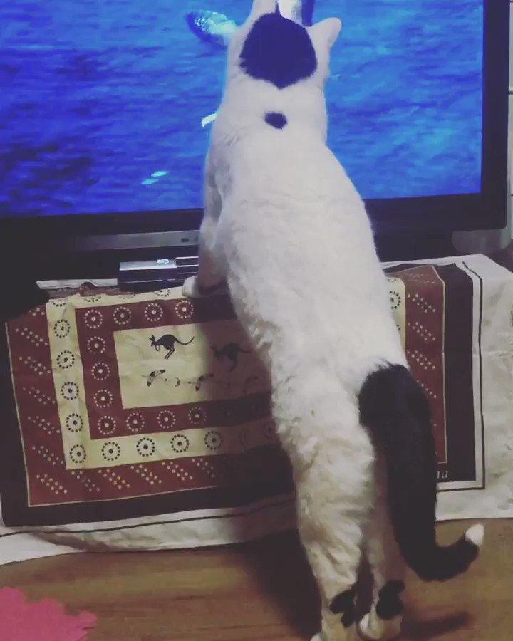 らいちやっぱり鳥に反応する🤣  #定期ツイート #ハート猫 #猫が好きすぎて辛い #猫好きさんと繋がりたい #猫がいる暮らし #拡散希望 #かわいい猫動画 #天才猫 #芸達者 #Buzz #にゃんこ #猫動画 #おもしろ猫 #RTで私を有名にしてください  #Geniuscat #にゃんすた #followme #RT #l4l #neko #catstagram