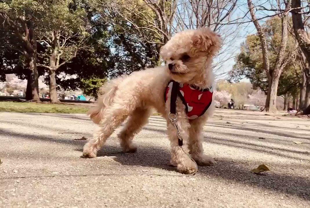 今日は良き天気です 青い空〜♪  #ポメプー #ミックス犬 #ふわちゃん #犬好きな人と繋がりたいpic.twitter.com/FnTFkWPDUx