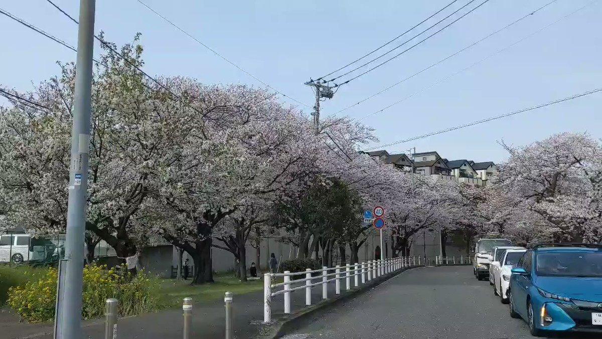 Image for the Tweet beginning: 昨日の富岡総合公園も素敵でした。 今日の風では桜吹雪がきれいでしょうね。