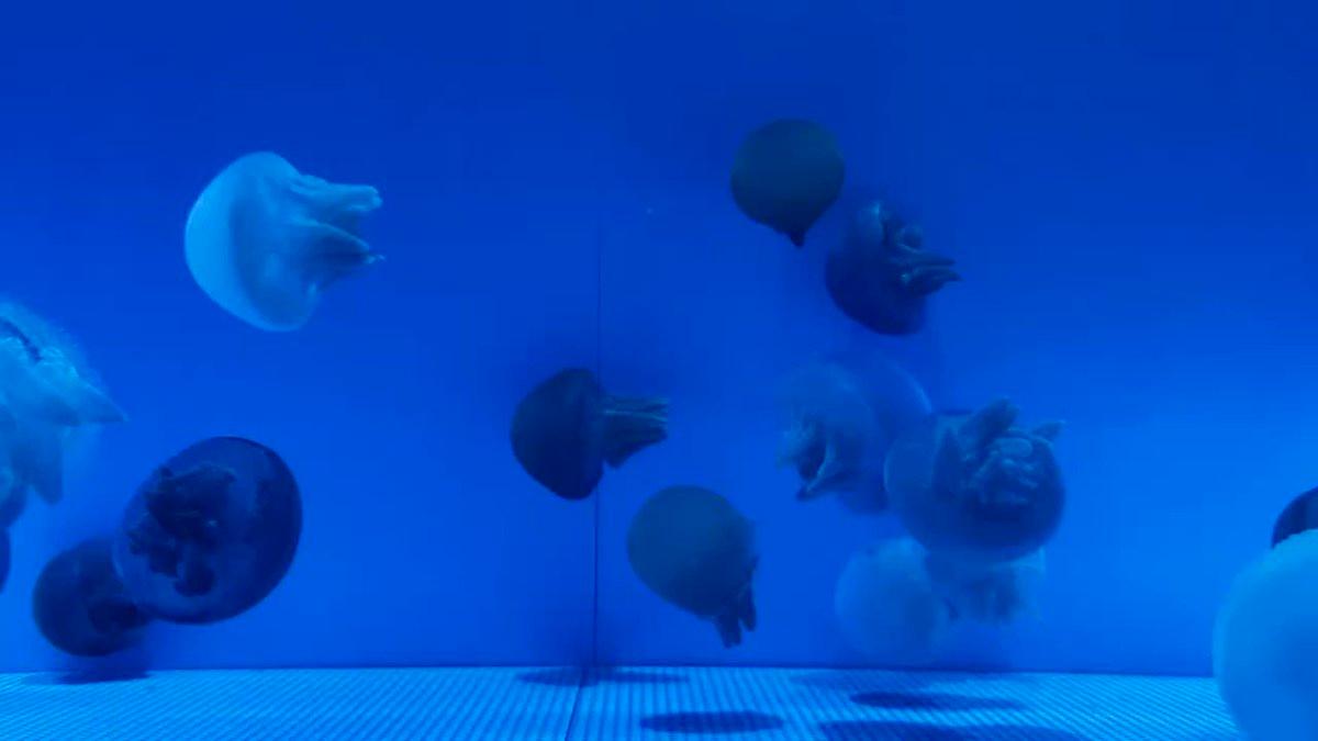 Image for the Tweet beginning: 横浜・八景島シーパラダイスは臨時休園中ですが、休園中も「Twitterで楽しむ水族館」をお届けしていきます🤗  ふわふわ〜😍✨  #八景島 #シーパラ #Twitterで楽しむ水族館 #クラゲ