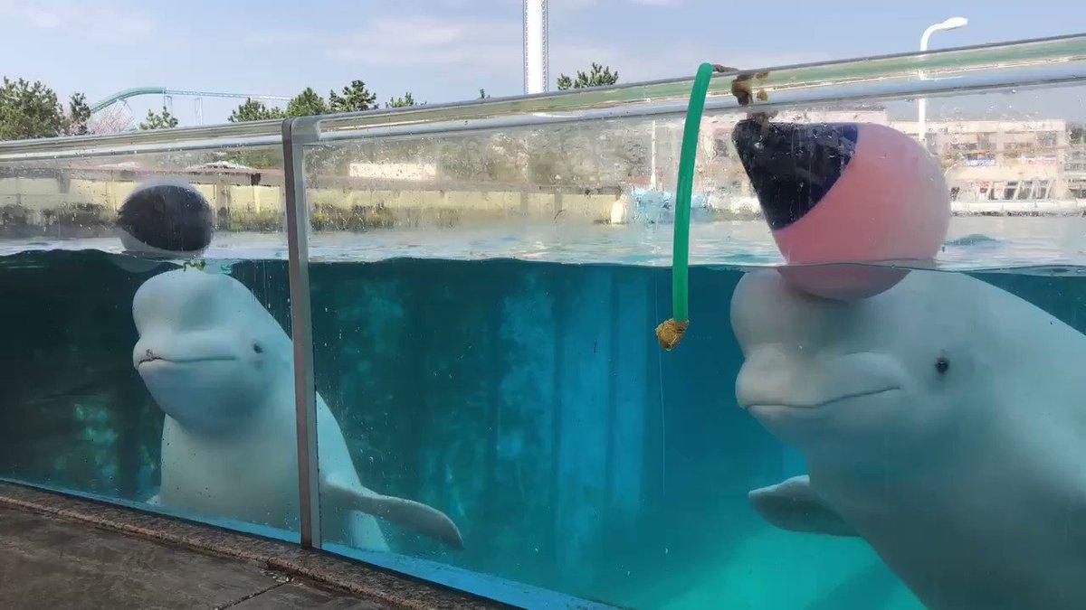 Image for the Tweet beginning: 横浜・八景島シーパラダイスは臨時休園中ですが、休園中も「Twitterで楽しむ水族館」をお届けしていきます🌷  2頭でころころ⚽️🧸🧩 遊ぶのって楽しいなぁ〜〜😆💓  #シーパラ #八景島 #Twitterで楽しむ水族館 #ふれあいラグーン #シロイルカ