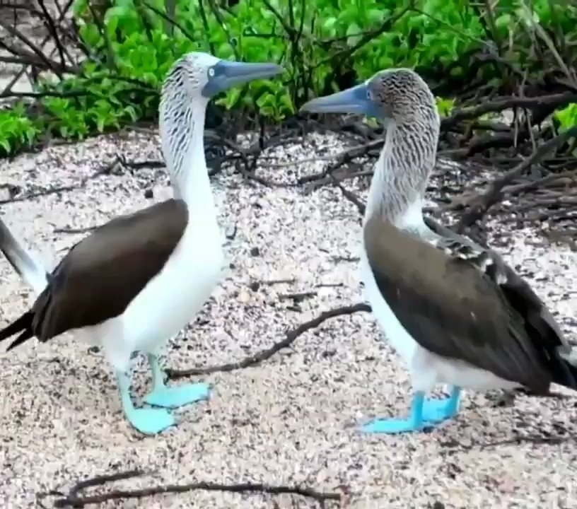#GoodNight & #SweetDreams ℒℴѵℯ & Hugs To All My lovely Friends Have A Peaceful Sleep Take Care #StayHealthy #StayAtHomeAndStaySafe God Bless ℒℴѵℯ You All  #Beautiful #Mesmerizing #Birds  #BluefootedBooby #Sulanebouxii #SeaBirds #Travelphotography #SundayMotivation pic.twitter.com/jLLtjFP8jS