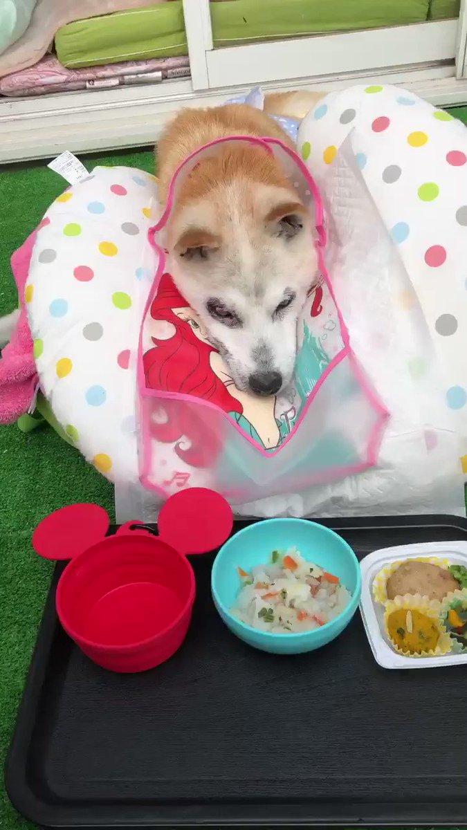 #愛犬 #Dog #シニア犬 #秘密結社老犬倶楽部天国支部 #ペットロス #petdeath #老犬介護 ぽくですど⃛優太郎ですど⃛ わんちゃん時代のぽくですど うまいど⃛ ぽくは食べるの大好きだったど 卒業前は食べれなかったけど今はまた食べれるど  今日も皆さんの幸せ祈ってますど 優太郎pic.twitter.com/HAv2EQtvZn