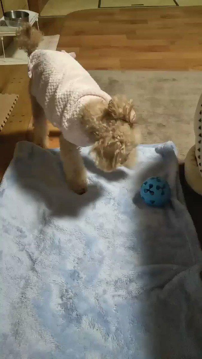 あきらめないじょ~!  ボールの中の ちゅるビーが食べたいイヴちゃんです!q(^-^q)ファイト  今日は冬に逆戻り寒い朝です しっかり食べて ちゃっちゃと動こーっと(*^O^*)!  #週の始まりです笑顔で元気よく~ #愛犬トイプードル #シニア犬 #頑張りやさんpic.twitter.com/6hAFr04MXd