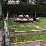 イギリスの街がロックダウンになった結果?子羊が遊具で遊んでる!