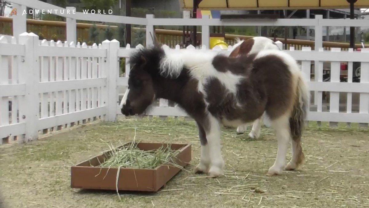 すくすく元気に成長中の #ミニチュアホース の赤ちゃん。お母さんと一緒に干し草を食べていますが、まだまだ母乳を飲んで甘えん坊です♪ #馬 #生後3か月 #アドベンチャーワールド #休園中の動物園水族館 #休園中のテーマパーク