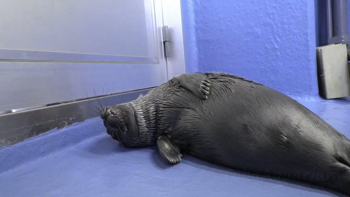 寝起きの様子を撮りに行ったら、寝ぼけてたのか最後にズボンをチューチューされました汗愛称募集も4月18日まで続いております!!#鳥羽水族館 #バイカルアザラシ #今日の赤ちゃん #最終的にズボンがベトベトに