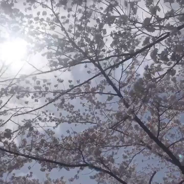The Best time in Japan. Cherry Blossom Time. #spring #japan pic.twitter.com/5cFDz8K7HT