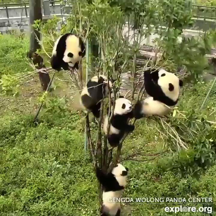 PANDADOTE: For every 1 minute of media you watch, watch 2 minutes of Panda's playing. #PandaNews