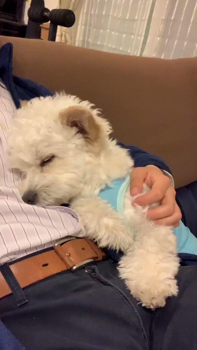 キュンとします #チワプー #犬好きな人と繋がりたい #犬のいる生活 #犬好きpic.twitter.com/9T6BWkLv5O