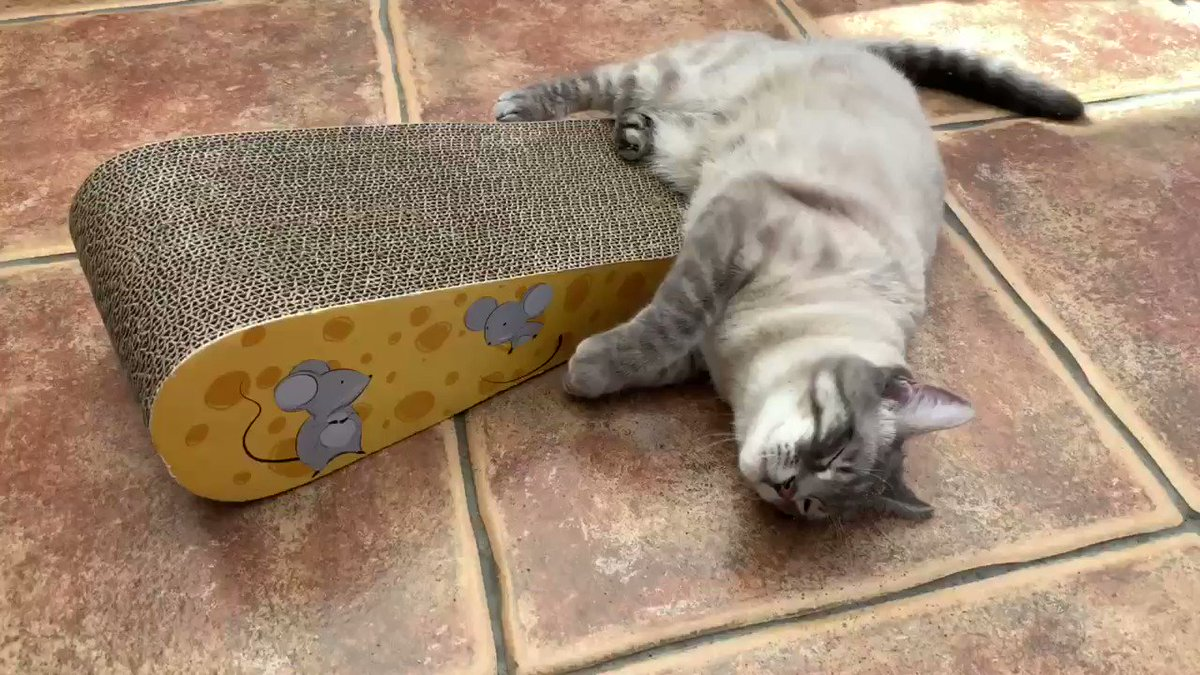 I'm so excited! Dad bought me this cheese wedge scratch pad present. Im a lucky boy. #CatsOfTwitter #CatsOfTheQuarantine #TuesdayMotivation #tuesdayvibes #tunatuesday #present #happy #cat #excitedpic.twitter.com/r6YBFkzktb