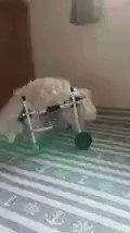 18歳のミックス犬のナナちゃん。一生懸命歩いています!良かったです(^^)  #犬用車椅子 #犬の車椅子 #わんケア #ミックス犬 #カート #バギー #老犬 #高齢犬 #シニア犬 #老犬介護pic.twitter.com/nvqaluy5vY