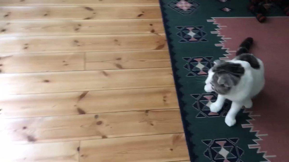 ネコとは思えない瞬発力 #猫好きさんと繋がりたい #cat #CatsOfTwitter