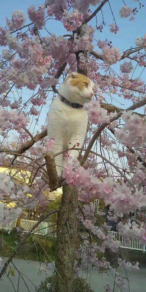 #花見気分  #スコティッシュ #猫好きさんと繋がりたい  #猫動画  #cat #ねこ