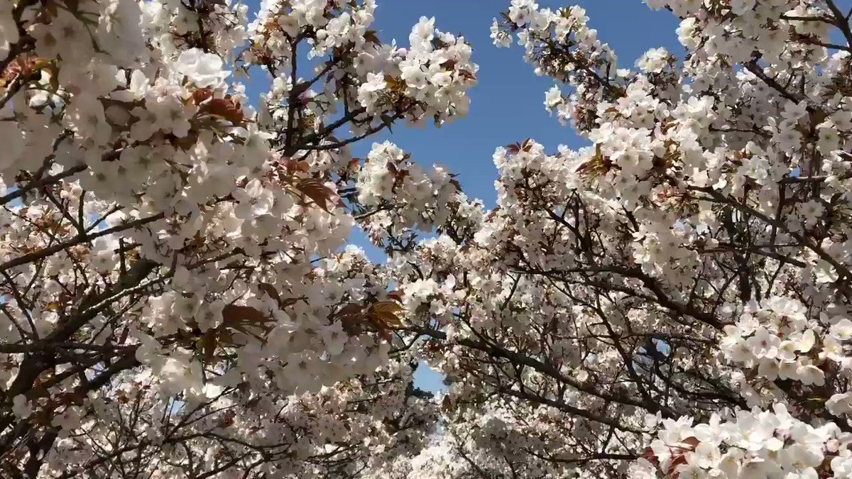 仁和寺より春をお届けいたします。  #仁和寺