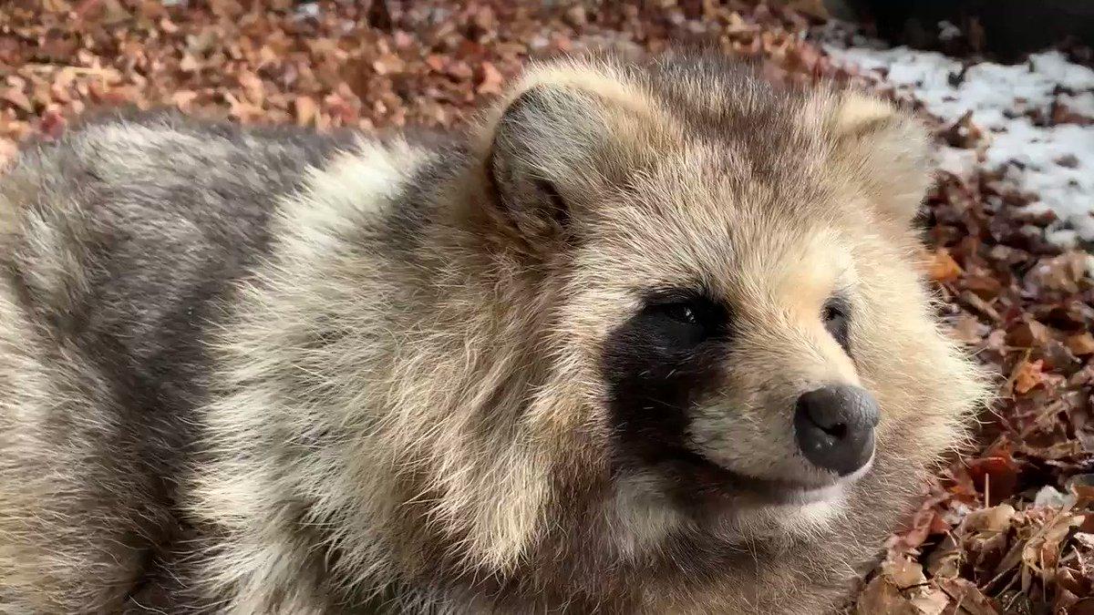 まちシロく今日のたぬきと共にあり#おびひろ動物園 #エゾタヌキ#obihirozoo   #raccoondog#今日のたぬき  #tanuki