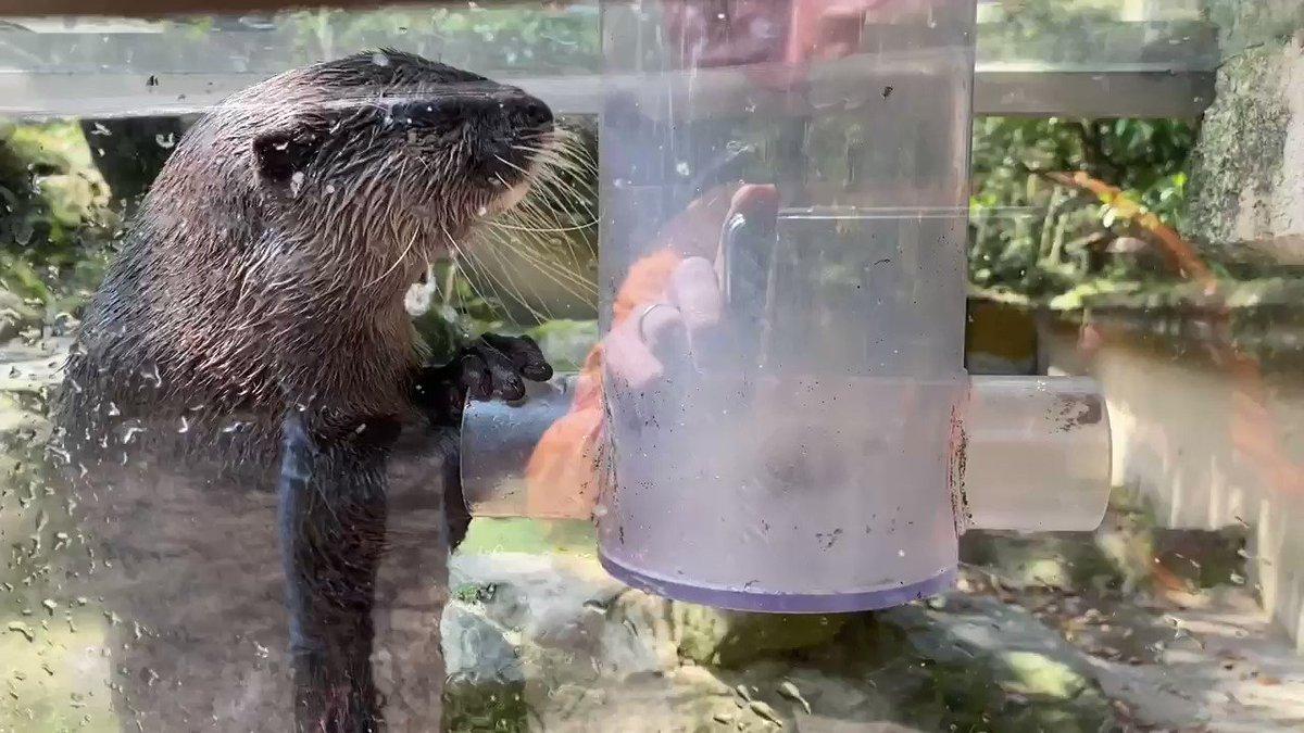 「俺、再開園したらまたお客さんから手渡しでエサもらうんだ・・・」#コツメカワウソ #休園中の動物園水族館