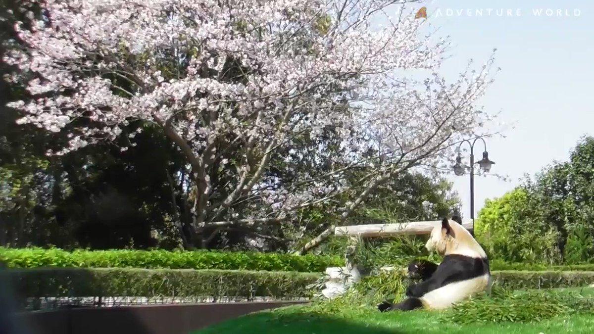 #永明 (えいめい)と #おうちでお花見 ♪ #アドベンチャーワールド #パンダ #休園中の動物園水族館 #休園中のテーマパーク #桜 #StayHome