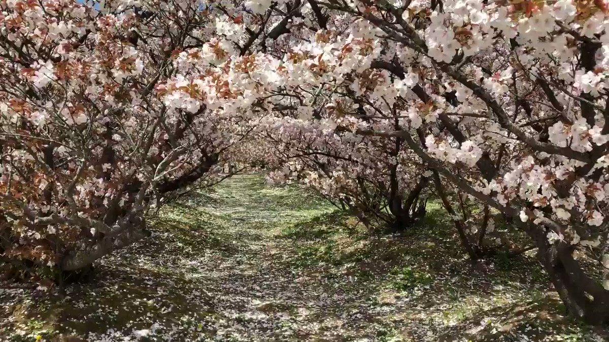 御室桜満開4日です。花吹きです。2、3日後には風がなくてもこのような状態になります。替わりに新緑が綺麗になり始めています。  #仁和寺