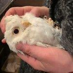 まるでファービーみたい飼い主に甘えるアルビノ(フクロウ)が可愛くて癒される!