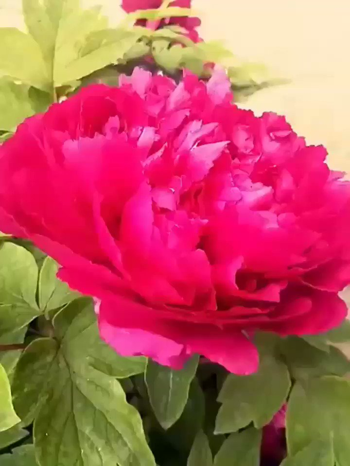 Be Mindful, Be Grateful  Be Positive, Be True, Be Kind  #GoodMorning lovely Friends Have A Blessed #FridayMorning Full Of ℒℴѵℯ, Smile, Peace & Happiness Take Care #StaySafeStayHome ℒℴѵℯ You All  #Beautiful #Peonies #Flowers #Garden #Peony #Spring #Birds ⚘pic.twitter.com/HsSl3IaXBv