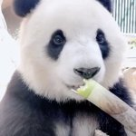 【ASMR】ムシャムシャと食べるパンダを見ていると思わず食べたくなってくる