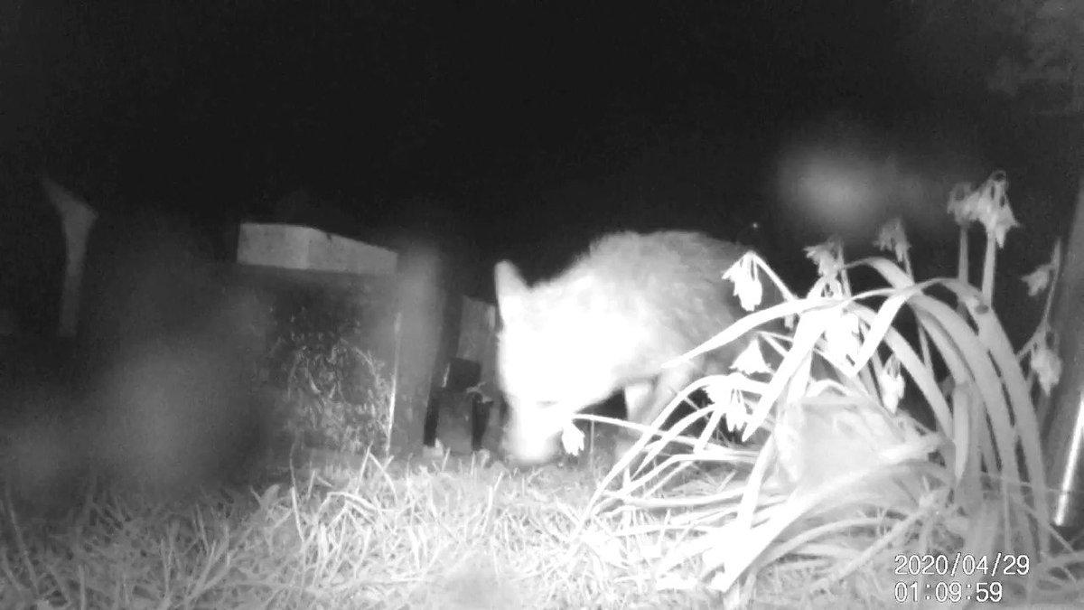 First time weve seen a fox on the garden #Hogcam #hedgehog #hedgehogs