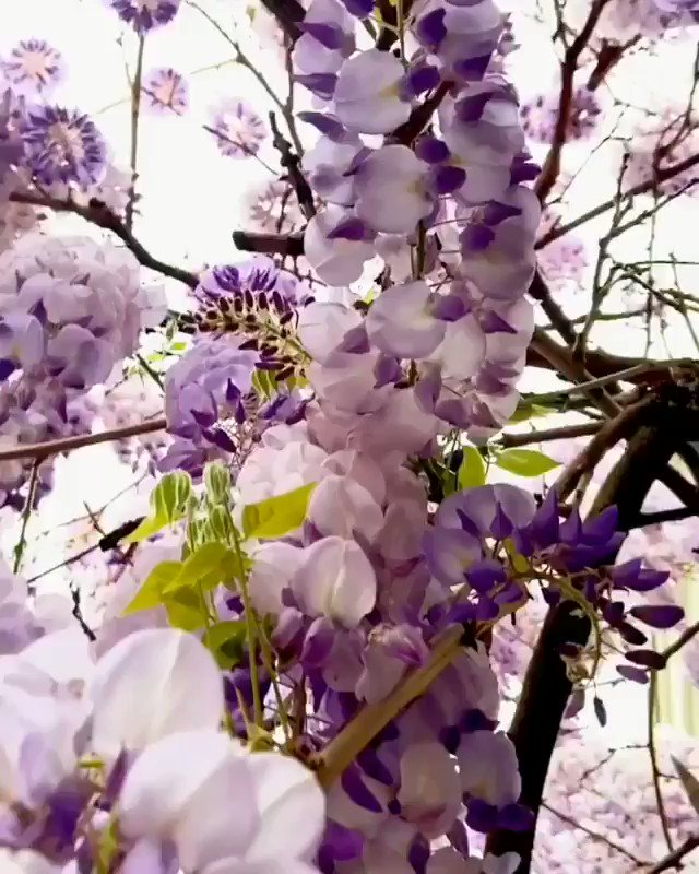 Hello May! 💐 Into the deep of the Wisteria 💜 (📹: by herve_in_paris)