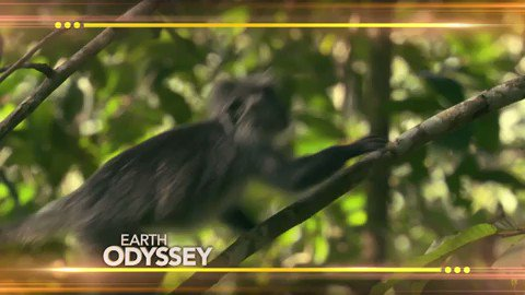 See what's swinging in the forests of Cambodia on this week's episode of #EarthOdyssey! 🐒