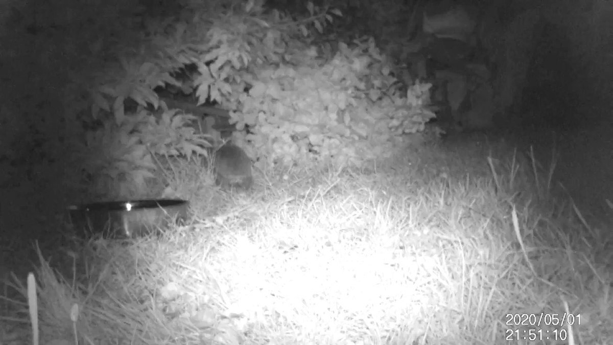 Wonderful to see this female #hedgehog in our garden gathering nesting materials and taking them into her nesting box #hedgehogs #wildlife