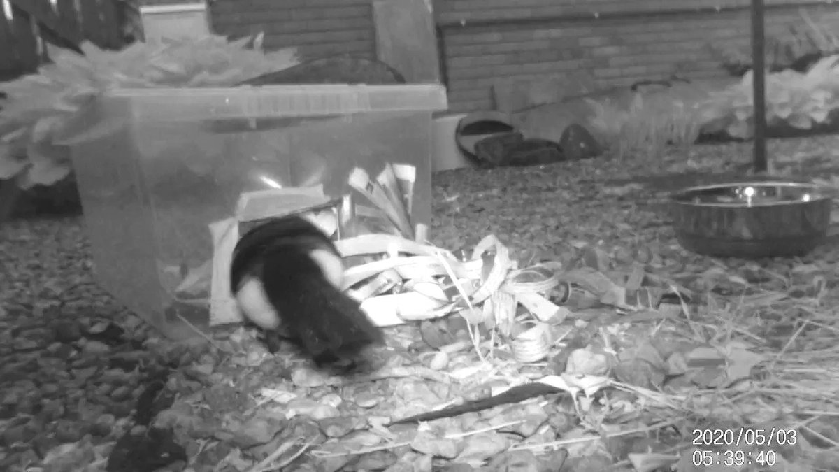 Wondering who was pulling the newspaper out of the #hedgehog feeding box. Tore some up in case it was someone looking for nesting material but, as I suspected, it was a #magpie pulling the newspaper to get to the food. Cheeky but clever #wildlife #hedgehogs #hogcam